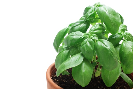 eat the plant: Basil in flowerpot