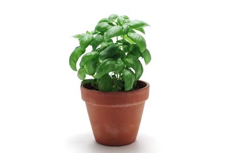 Basil in flowerpot   photo