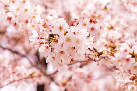 Cherry blossom                                 Banco de Imagens