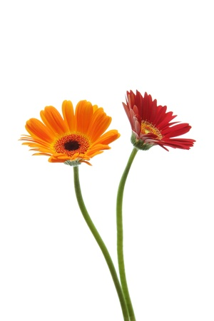 Red and orange gerbera daisies isolated on white background Stock Photo - 12186823