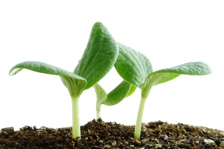 germinate: Young plant                                 Stock Photo