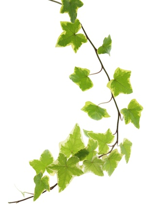 Green yellow ivy