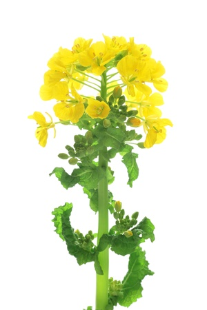 Rape blossoms isolated on white background