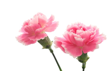 Pink Carnations isolated on white background Stock Photo