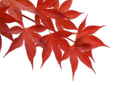 일본어 붉은 단풍 흰색 배경에 고립