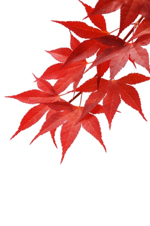 japanese fall foliage:  Japanese red maple isolated on white background