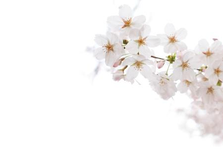Closeup of Cherry blossom