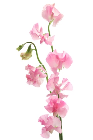 Pink sweet pea isolated on white background