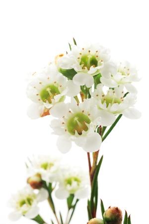 waxy: Chamelaucium (waxflower) Stock Photo