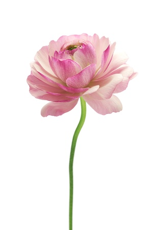 Purple ranunculus isolated on white background