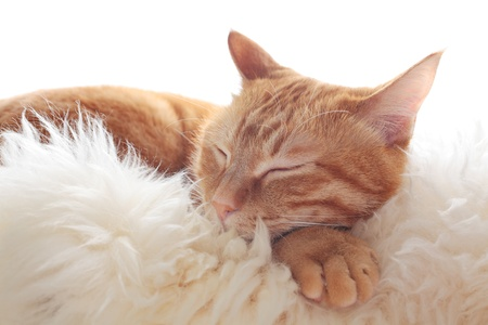 Ginger cat is basking in the sun on white fur Stock Photo - 13704079
