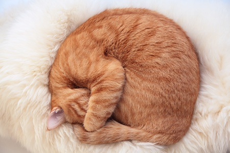Ginger cat curled up on white fur
