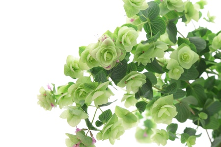oregano plant: Close up of Kent Beauty Oregano