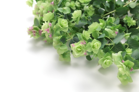 Kent Beauty Oregano  Stock Photo - 14227049