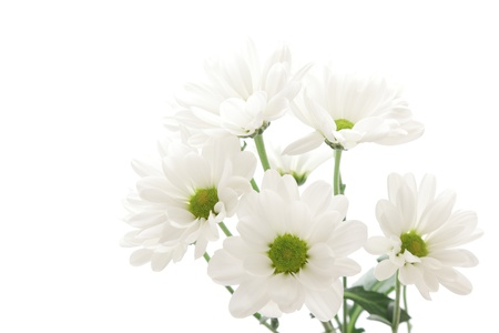 White spray mum isolated on white background