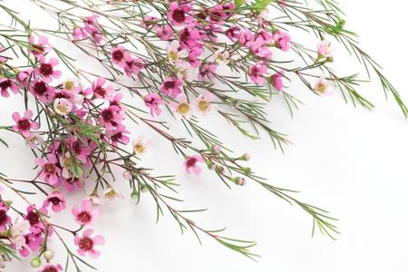 Pink waxflower on white background