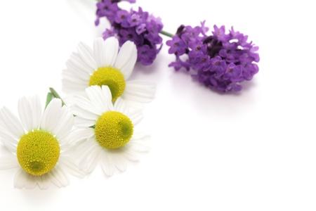 homeopathy: Chamomiles y flores de lavanda en el fondo blanco Foto de archivo