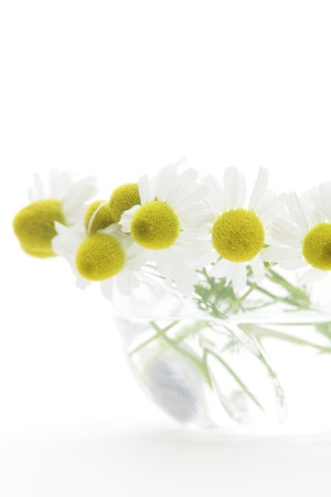 german chamomile: Chamomiles in glass on white background
