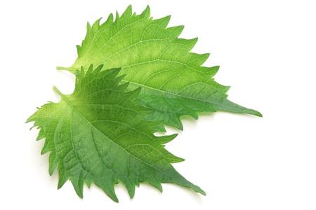 Green perilla, shiso  Stock Photo