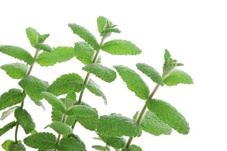viands: Apple mint leaves Stock Photo