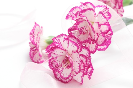 Pink white carnation and ribbon on white background photo