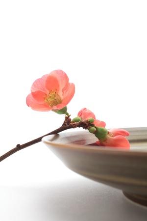 Close up of a flowering quince  Banco de Imagens