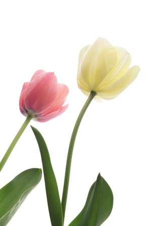 Pink and white tulips isolated on white background  Stock Photo
