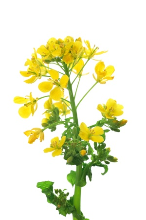 rapeseed: Rape blossoms isolated on white background