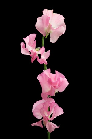 Pink sweet pea isolated on black background photo