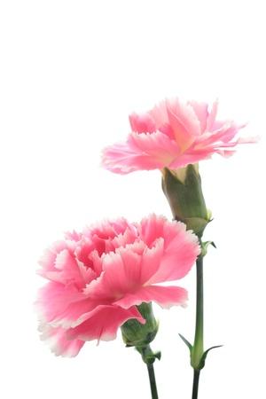 白い背景上に分離されてピンクのカーネーション