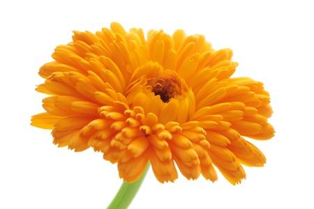 marigold: Orange pot marigold isolated on white background Stock Photo