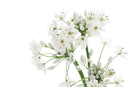 Allium neapolitanum isolated on white background photo