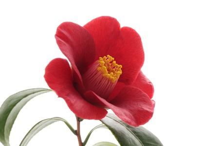 Kurostubaki, black red camellia isolated on white background Stock Photo