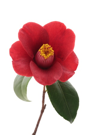 Kurostubaki, black red camellia isolated on white background Stock fotó