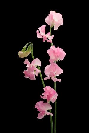 sweet pea flower: Pink sweet pea isolated on black background