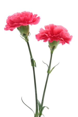 Pink carnation isolated on white background Zdjęcie Seryjne