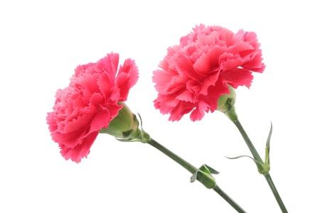 Pink carnation isolated on white background Banco de Imagens