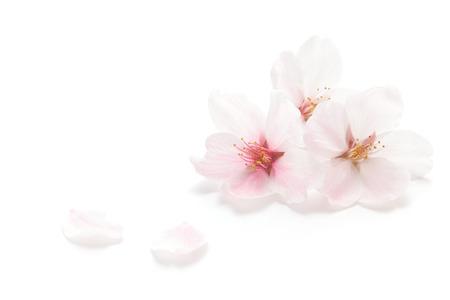 tender tenderness: Closeup of Cherry blossom