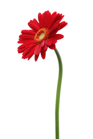 blooms: Red gerbera daisy isolated on white background Stock Photo