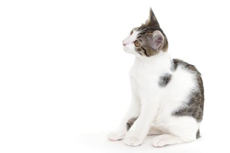 white cat: Cute kitten sitting on white background