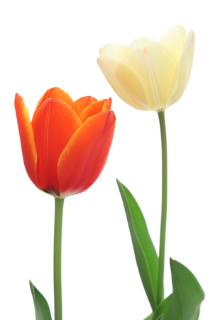 tulips isolated on white background: Red and white tulips isolated on white background