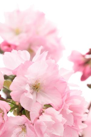 Gros plan des fleurs de cerisier, Asahiyamazakura