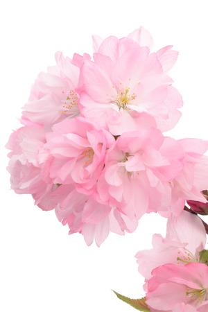tender tenderness: Closeup of Cherry blossom, Asahiyamazakura