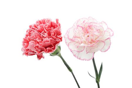 Czerwone i różowe goździki na białym tle