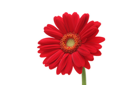 abloom: Red gerbera daisy isolated on white background Stock Photo