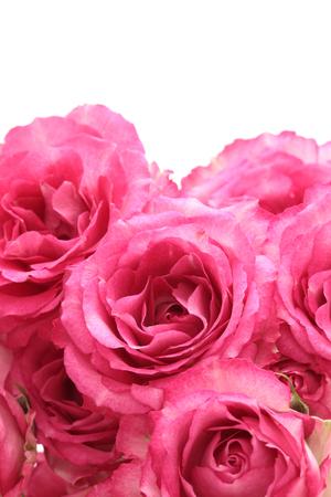 white rose: Pink roses isolated on white background Stock Photo