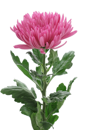 Purple Chrysanthemum isolated on white background Stock Photo