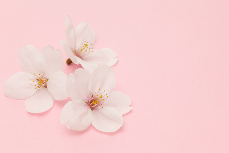 Cherry blossom isolated on pink background