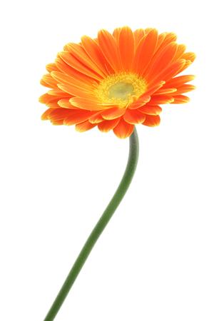 Żółte pomarańczowe stokrotki gerbery na białym tle Zdjęcie Seryjne