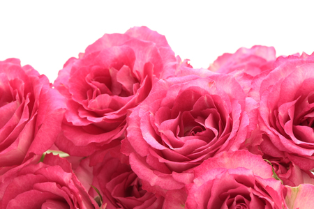 Pink roses isolated on white Banque d'images